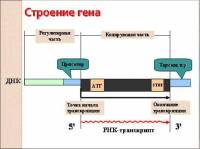 Строение гена Кодирующая часть АТГ STOP ДНК РНК-транскрипт Промотор Терминато.