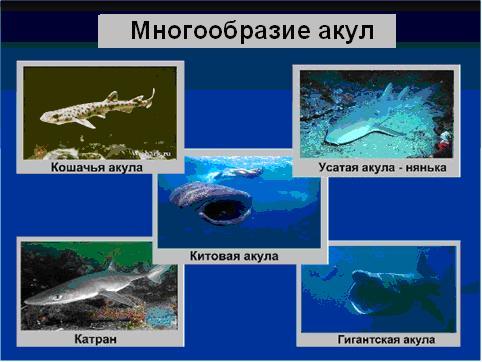 """Презентация по биологии  """"Хрящевые рыбы """" предназначена для изучения этой..."""