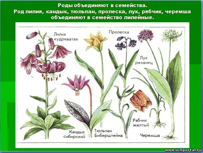 Группа: лилии