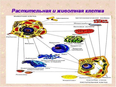 «Строение эукариотической
