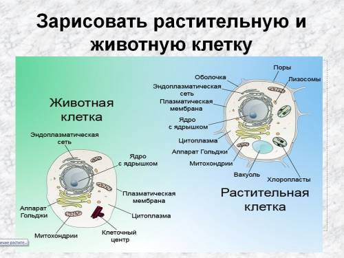 строение животной клетки рисунок: