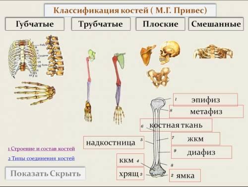 Плечевая кость рисунки
