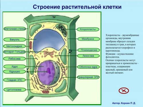 строение клетки растительной картинки